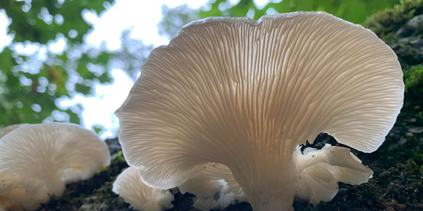Foraging for wild oyster mushrooms